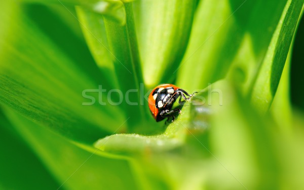 Coccinelle coccinelle campagne vert jambes noir Photo stock © mobi68