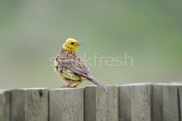 Yellowhammer Stock photo © mobi68