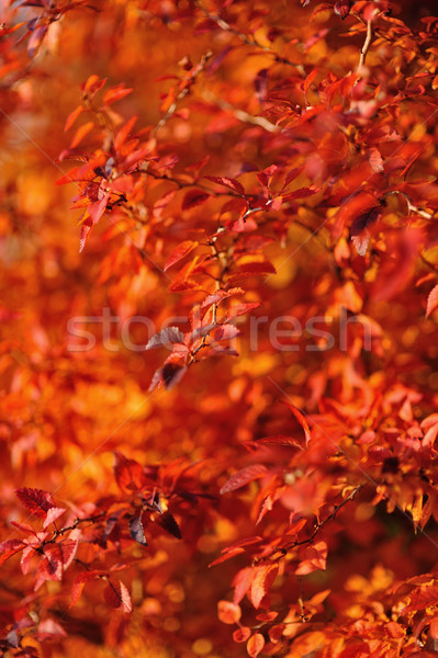 Red autumn leaves Stock photo © mobi68