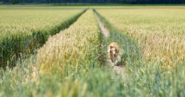Lopen natuur zomer veld tarwe Stockfoto © mobi68