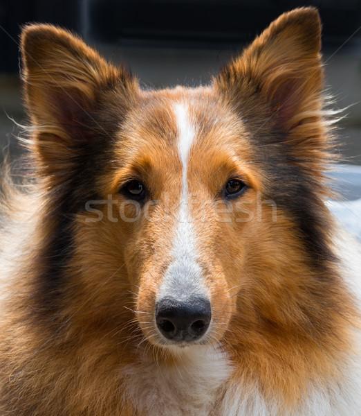 áspero perro negro cabeza nariz mascota Foto stock © mobi68