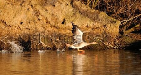 Grijs gans start meer zonsondergang vogel Stockfoto © mobi68