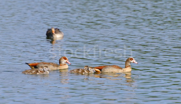 Egyptian Goose family Stock photo © mobi68