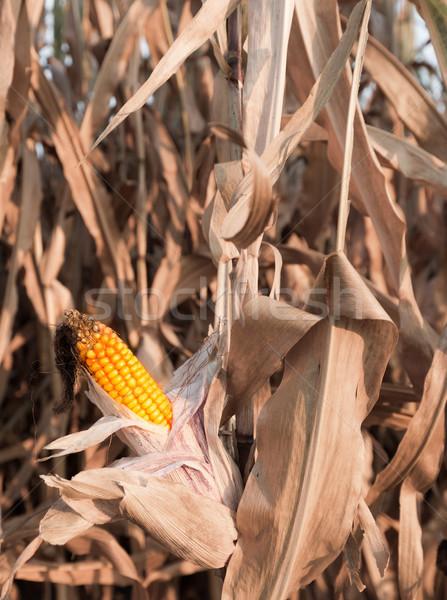 Maduro maíz otono cosecha Foto stock © mobi68