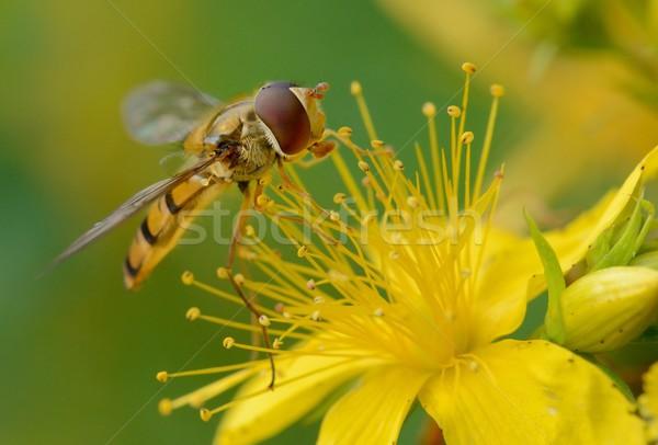 Vliegen macro gele bloem natuur bee Stockfoto © mobi68
