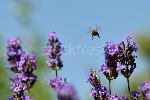 Doei bee lavendel bloemen hemel zomer Stockfoto © mobi68