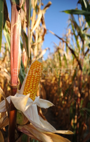 Maíz campo oro planta agricultura cosecha Foto stock © mobi68