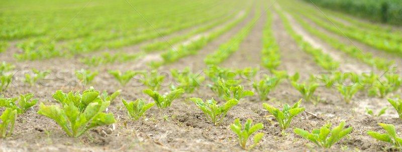 Campo jóvenes azúcar verde planta Foto stock © mobi68