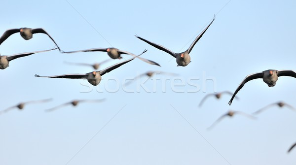 Flock of graylag geese in flight Stock photo © mobi68