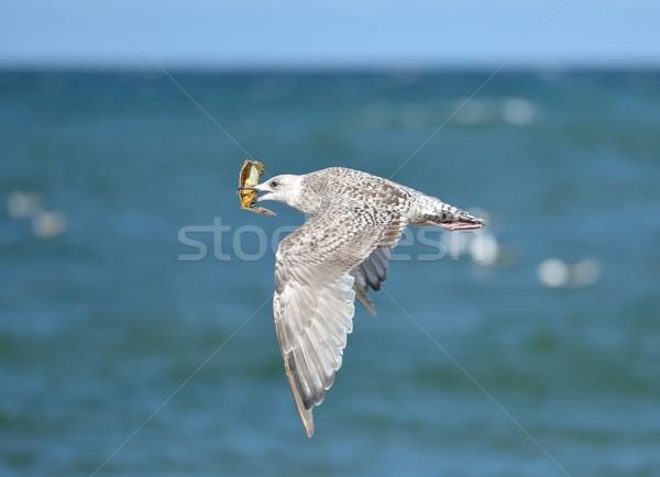 飛行 鴎 カニ 食品 海 ストックフォト © mobi68