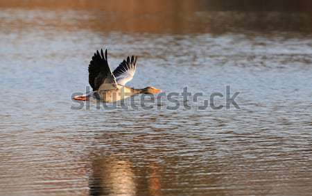 Gris ganso vuelo lago puesta de sol aves Foto stock © mobi68