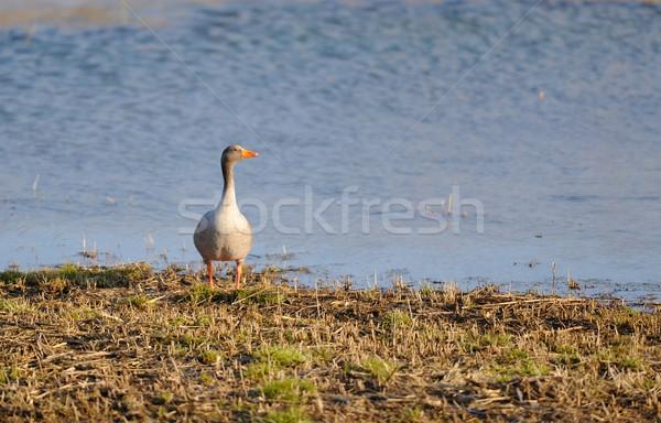 Gri kaz kıyı banyo güneş Stok fotoğraf © mobi68