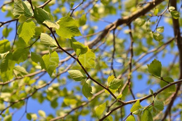 Cariñoso verde avión árbol primavera forestales Foto stock © mobi68