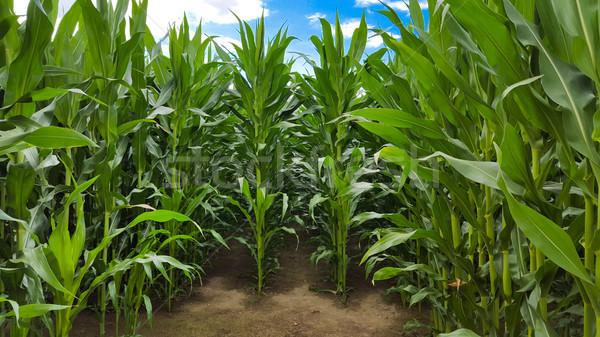 Kukoricamező kék ég égbolt nap kukorica energia Stock fotó © mobi68