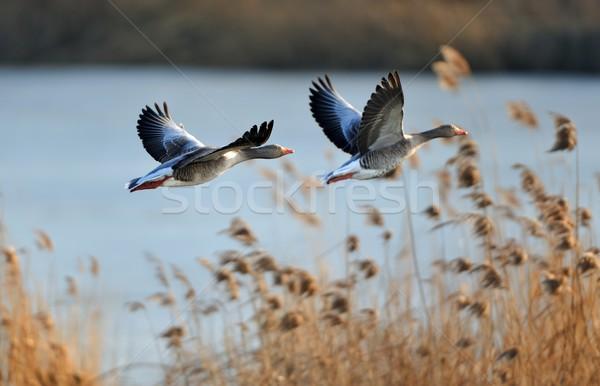 Gris gansos vuelo agua sol naturaleza Foto stock © mobi68