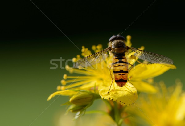 Hover fly Stock photo © mobi68