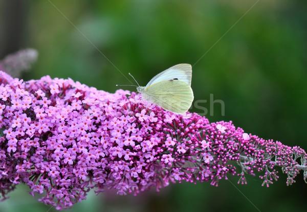 Col mariposa lila primavera verano planta Foto stock © mobi68