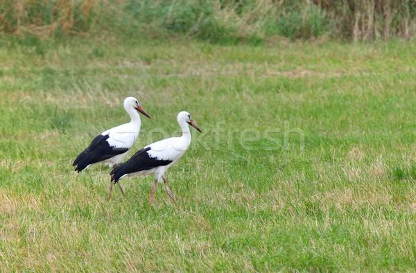 çayır iki bahar yeşil kuşlar siyah Stok fotoğraf © mobi68