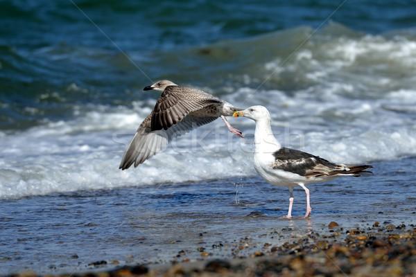 Gaviotas dos costa mar azul arena Foto stock © mobi68