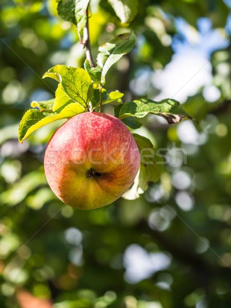 зрелый яблоко яблони фрукты саду здоровья Сток-фото © mobi68