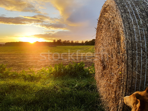 Stockfoto: Stro · baal · zonsondergang · oogst · hond · land