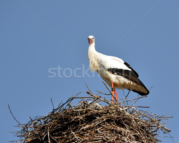 аистов гнезда Постоянный смотрят небе птица Сток-фото © mobi68