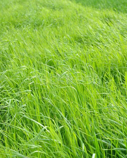 Pradera exuberante hierba naturales naturaleza fondo Foto stock © mobi68