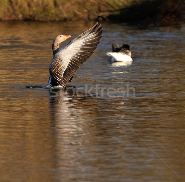 гусь птица красный крыльями пруд коричневый Сток-фото © mobi68