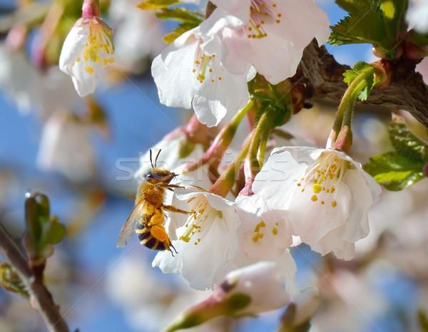 Abeja trabajo flor de cerezo cielo primavera azul Foto stock © mobi68
