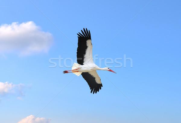 Cigüena vuelo cielo azul cielo aves azul Foto stock © mobi68