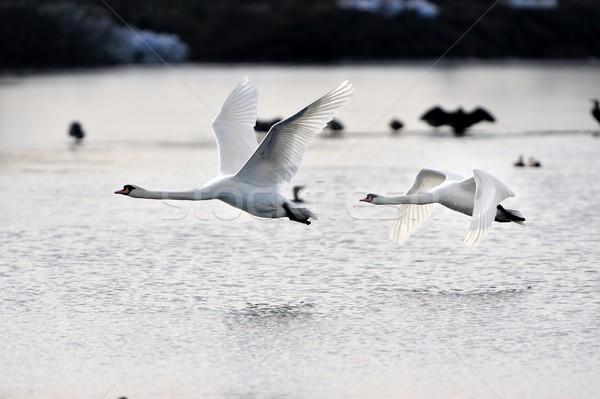 Repülés kettő néma víz természet madár Stock fotó © mobi68
