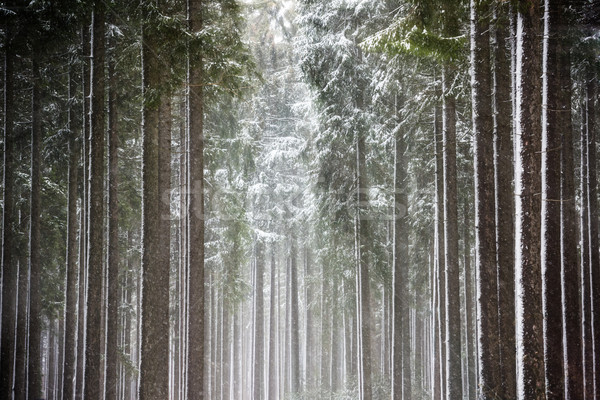 Sun rays in winter forest Stock photo © mobi68