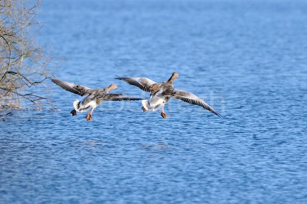 Kaz hazır iniş göl kuşlar Stok fotoğraf © mobi68