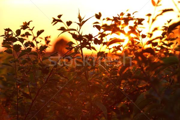 Foto stock: árbol · sol · verano · hojas · rojo · amarillo
