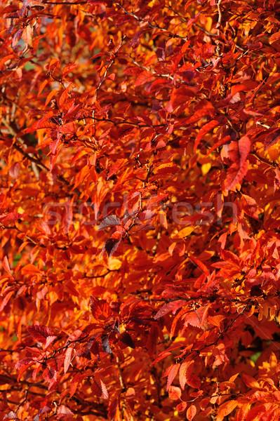 Rojo hojas de otoño sol hoja Foto stock © mobi68