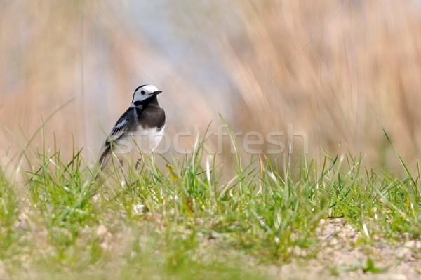 Foto stock: Grama · pássaro · preto · branco