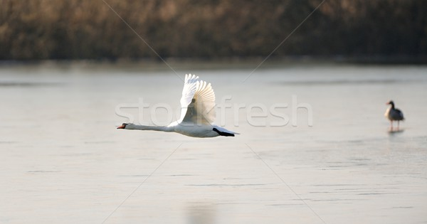 Cisne vuelo vuelo bajo congelado lago Foto stock © mobi68