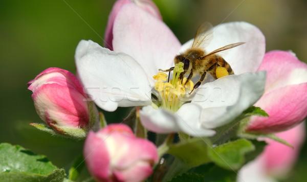 Abeja manzana flor ocupado flores primavera Foto stock © mobi68