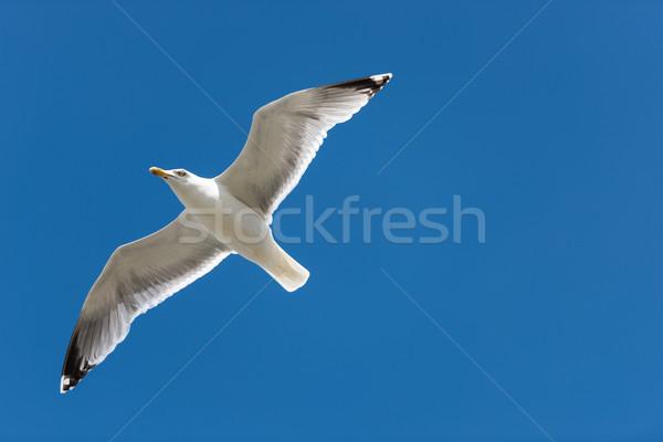 Herring Gull Stock photo © mobi68