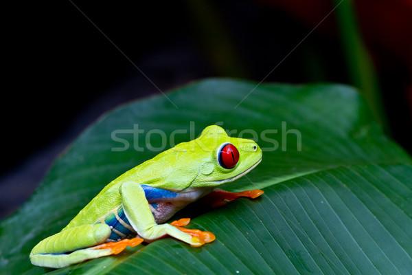 The amazing blue sides of the red eyed tree frog. Stock photo © MojoJojoFoto