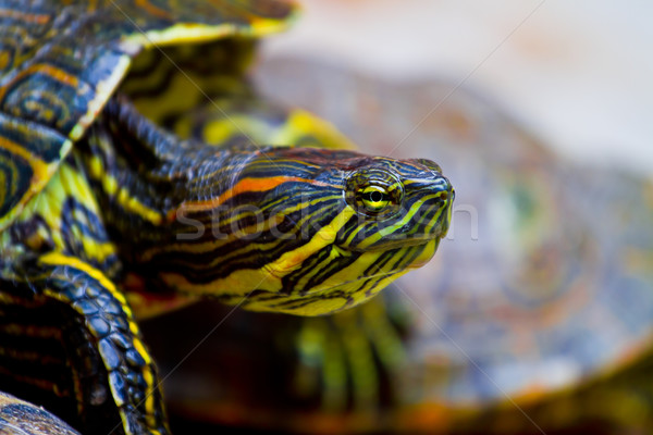 Mexican tortue rouge autre atteindre Photo stock © MojoJojoFoto