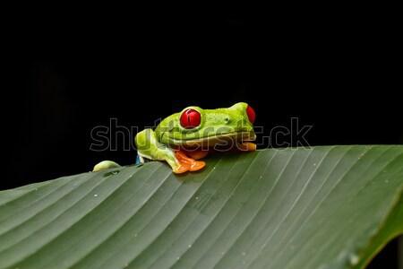 Curieux rouge feuille photographe Costa Rica Photo stock © MojoJojoFoto