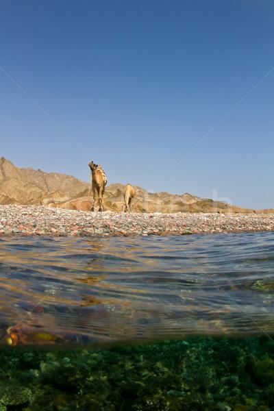 Red sea Camels Stock photo © MojoJojoFoto