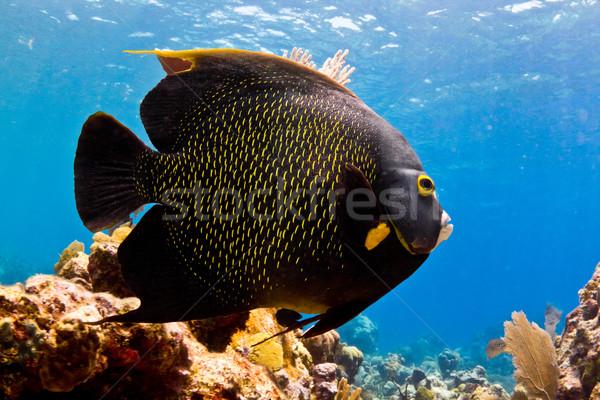ангела рыбы огромный Карибы морем тропические Сток-фото © MojoJojoFoto