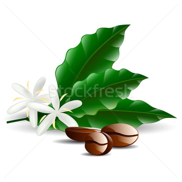 Grão de café folha isolado branco vetor flor Foto stock © mOleks