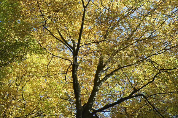 Tree Canopy In Autumn Stock photo © monkey_business