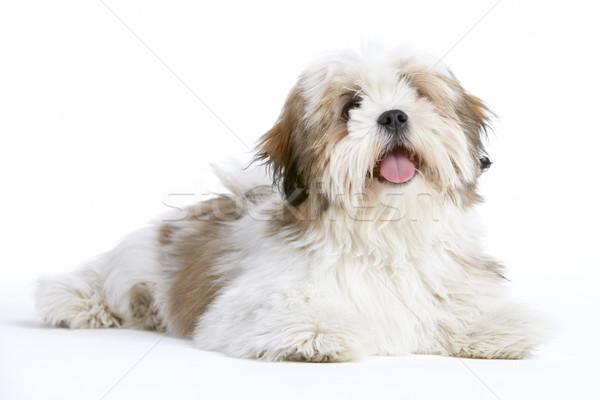 Stock photo: Lhasa Apso Dog Lying Down