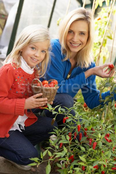 Stok fotoğraf: Genç · kadın · çocuk · hasat · domates · kız · meyve