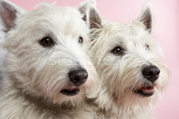 Two West Highland Terrier Dogs In Studio Stock photo © monkey_business