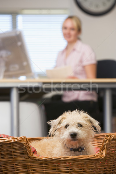 Stock photo: Dog lying in home office with woman in background